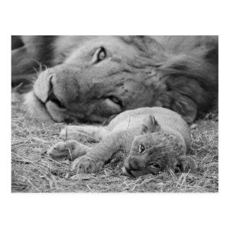 Carte Postale Lion CUB mignon dépendant du père