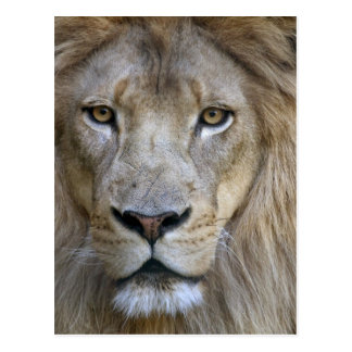 Carte Postale Lion de mâle adulte au zoo de Sacramento, CA