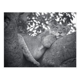 Carte Postale Lion de repos sud-africain