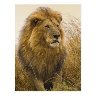 Carte Postale Lion maned de noir de vieil adulte, jeu de Mara de