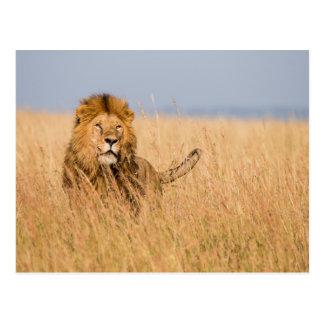 Carte Postale Lion masculin caché dans l'herbe