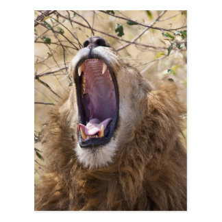 Carte Postale Lion masculin (Panthera Lion) baîllant, masai Mara