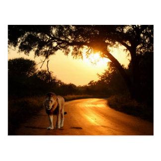 Carte postale. Lion sur la route