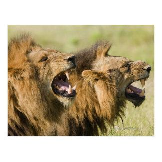 Carte Postale Lions masculins hurlant, un plus grand