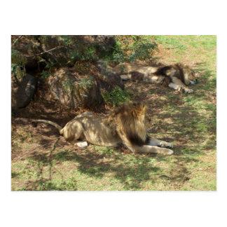 Carte Postale Lions paresseux
