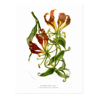 Carte Postale Lis de flamme (superba de Gloriosa)