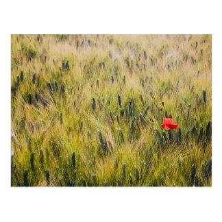 Carte Postale L'Italie, Toscane, blé solitaire de pavot au