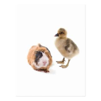 Carte Postale little goose and guinea pig
