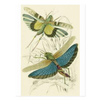 Carte Postale Locusta Cristata (inférieur), flava de Locusta