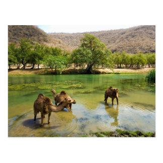 Carte Postale L'Oman, darbat de Wadi, dromadaires pâturant dans