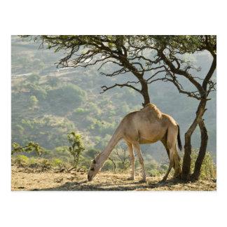 Carte Postale L'Oman, région de Dhofar, Salalah. Chameau dans