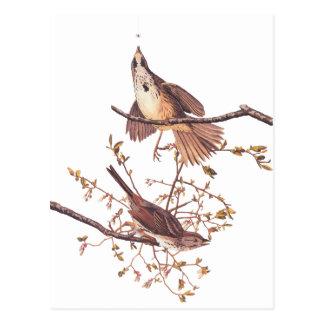 Carte Postale Long moineau d'Audubon
