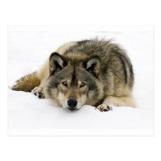 Carte Postale Loup