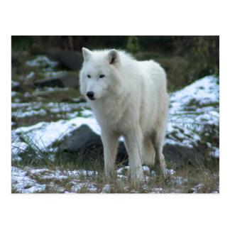 Carte Postale Loup blanc en hiver