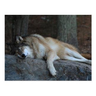 Carte Postale Loup de sommeil du Minnesota du nord