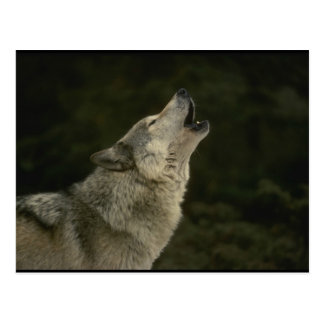 Carte Postale Loup gris