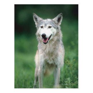 Carte Postale Loup gris 2