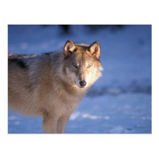Carte Postale loup gris, lupus de Canis, dans les collines de