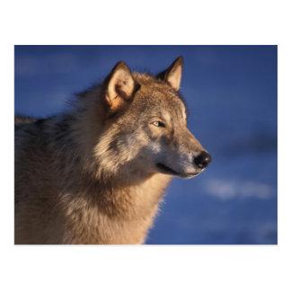 Carte Postale loup gris, lupus de Canis, dans les collines de 2