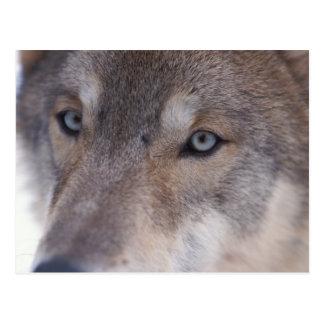 Carte Postale loup gris, lupus de Canis, dans les collines du