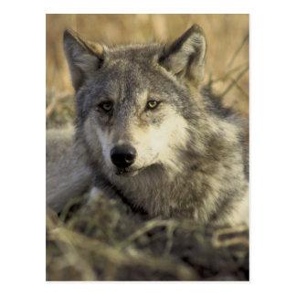 Carte Postale Loup gris magnifique