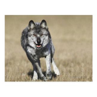 Carte Postale Loup (lupus de Canis) fonctionnant vers