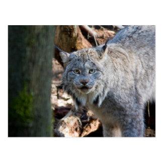 Carte Postale Lynx