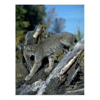 Carte Postale Lynx de Canada, automne