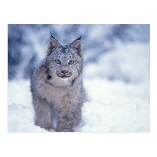 Carte Postale lynx, lynx de Lynx, dans la neige dans les