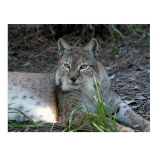 Carte Postale lynx sibérien 017