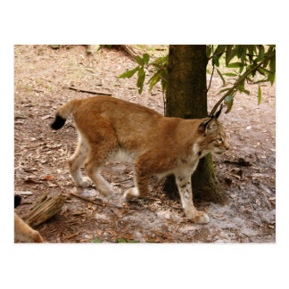 Carte Postale lynx sibérien 031