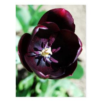 Carte Postale Macro noir de tulipe