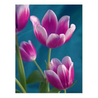 carte postale magenta de tulipes