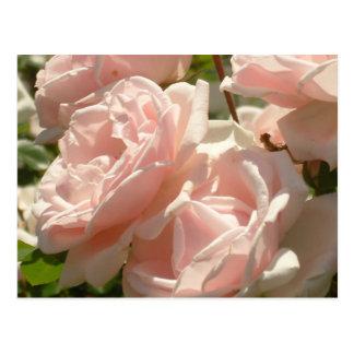 Carte postale magnifique de roses
