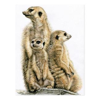 Carte Postale Mâle de terre - Meerkats