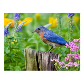 Carte Postale Mâle d'oiseau bleu sur le courrier de barrière