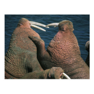 Carte Postale Mâles 2 de rosmarus d'Odobenus de morse Pacifique)