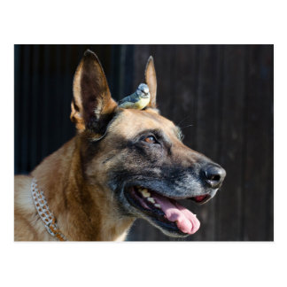 Carte Postale Malinois (chien) avec une mésange bleue