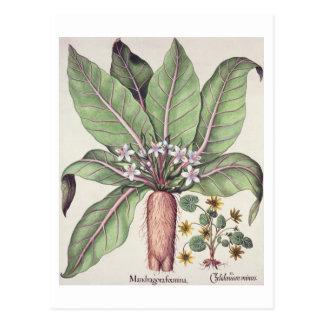 """Carte Postale Mandragore d'automne, du """"Hortus Eystettensis"""" par"""