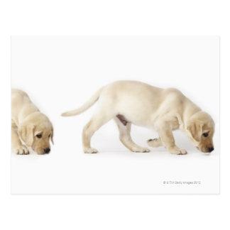 Carte Postale Marche de chiot de labrador retriever
