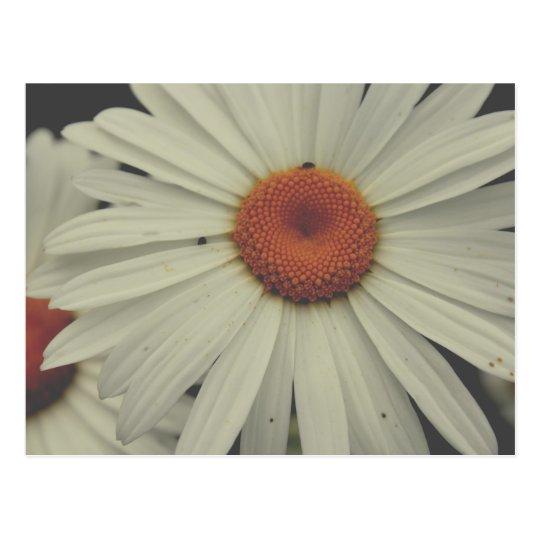 Carte postale Marguerite