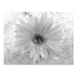Carte Postale Marguerite noire et blanche