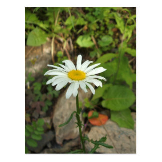 Carte Postale Marguerite solitaire