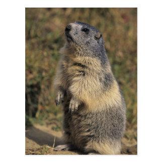 Carte Postale Marmot alpin, marmota de Marmota, position adulte