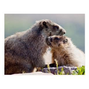 Cartes postales Marmottes originales   Zazzle.fr