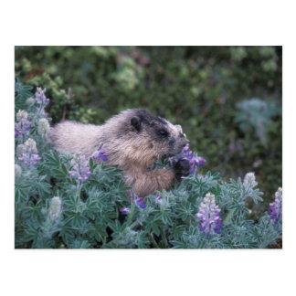 Carte Postale Marmotte blanchie alimentant sur de loup soyeux,