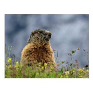 Carte Postale marmotte sur le pré alpin