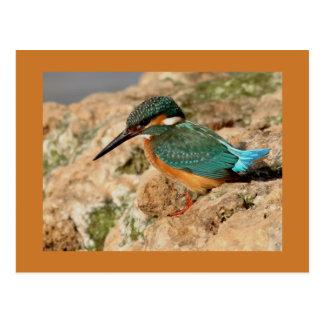 Carte Postale Martin-pêcheur commun