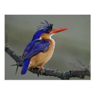 Carte Postale Martin-pêcheur de malachite, cristata d'Alcedo,