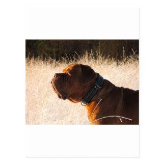 Carte Postale Mastiff de Taureau